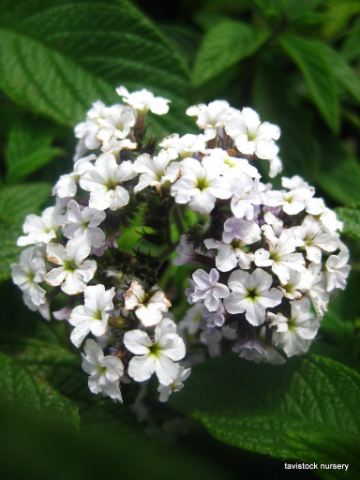 white heliotrope Superbly scented selected for easy shipping of unrooted and rooted cuttings, these easy-to-grow varieties have an upright habit 'kleha14006.