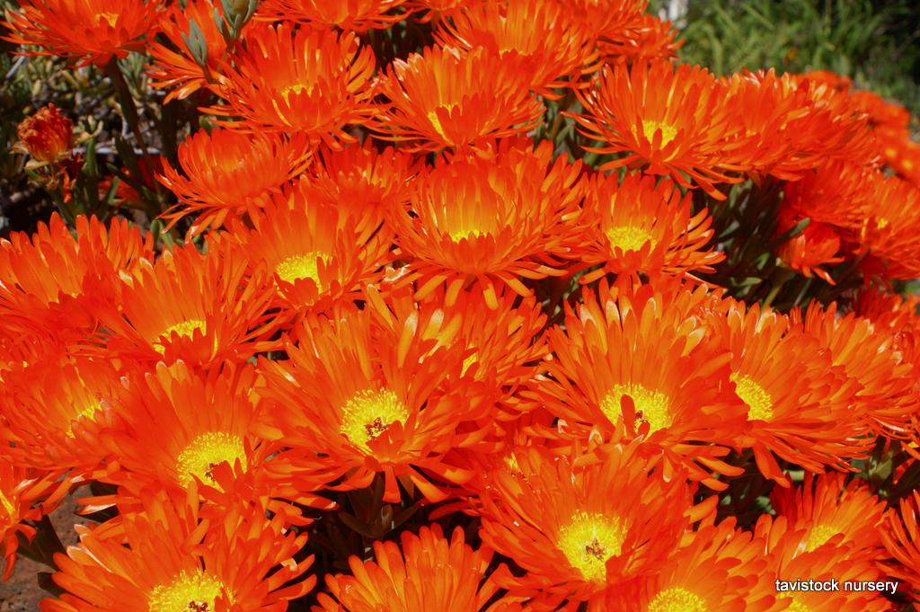 Mesembryanthemum Orange Pigface