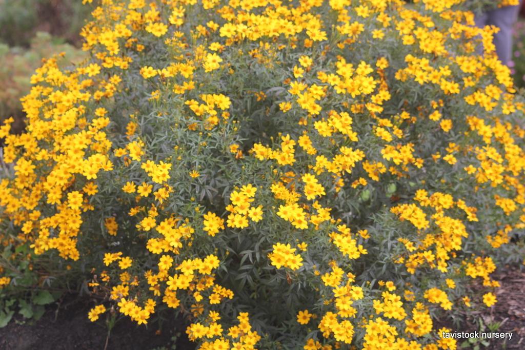 Tagetes Limonii Passionfruit Marigold